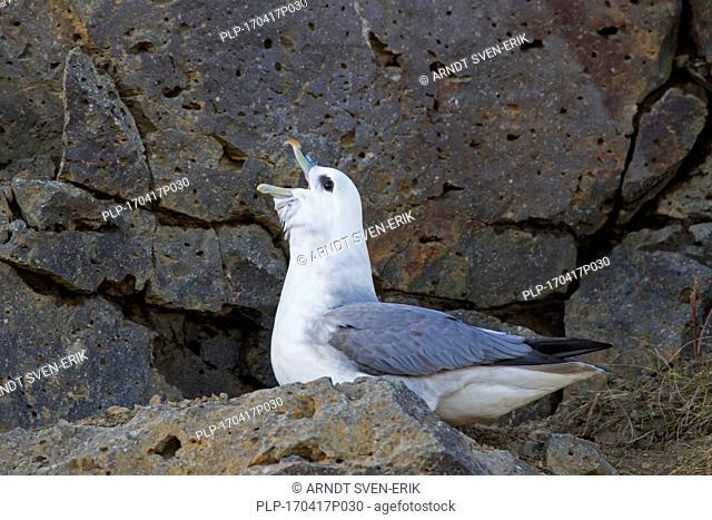 Northern fulmar / Arctic fulmar (Fulmarus glacialis) calling from rock ledge in sea cliff
