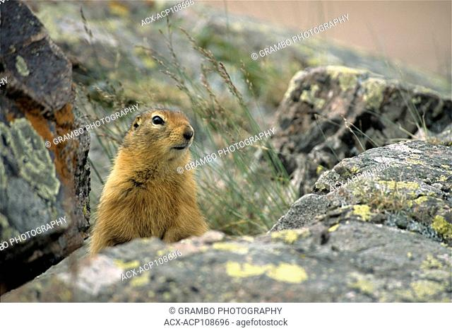 Arctic Ground Squirrel, Spermophilus parryii, Ukkusiksalik National Park, Nunavut, Canada