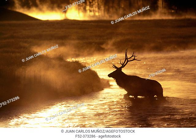 Wapiti (Cervus canadensis) at dawn