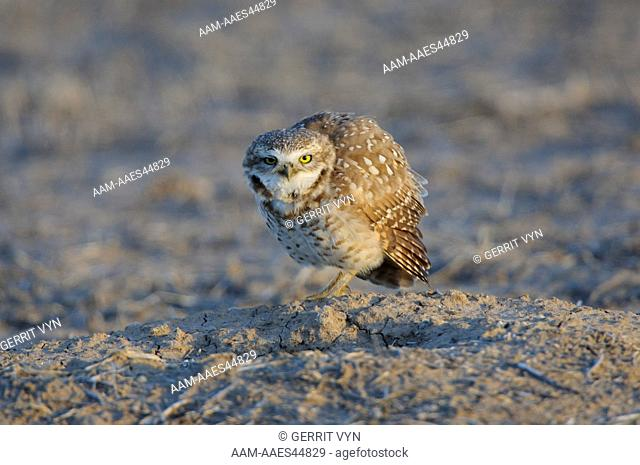 Adult Burrowing Owl (Athene cunicularia) vocalizing at nest burrow in a prairie dog town. Cimarron National Grassland, Kansas. April