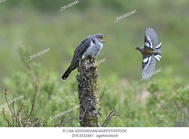 Male Cuckoo-Cuculus canorus and Chaffinch-Fringilla coelebs fight