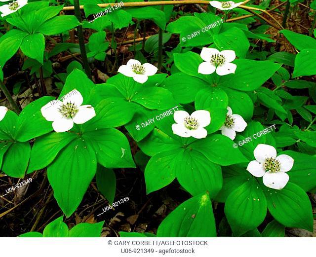 bunchberry flowers in bloom