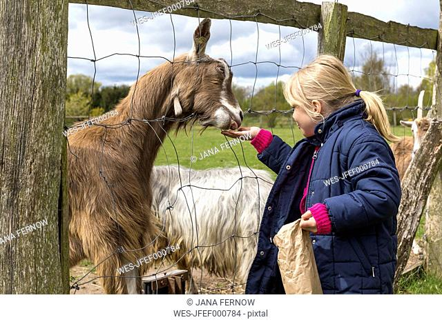 Blond little girl feeding goats
