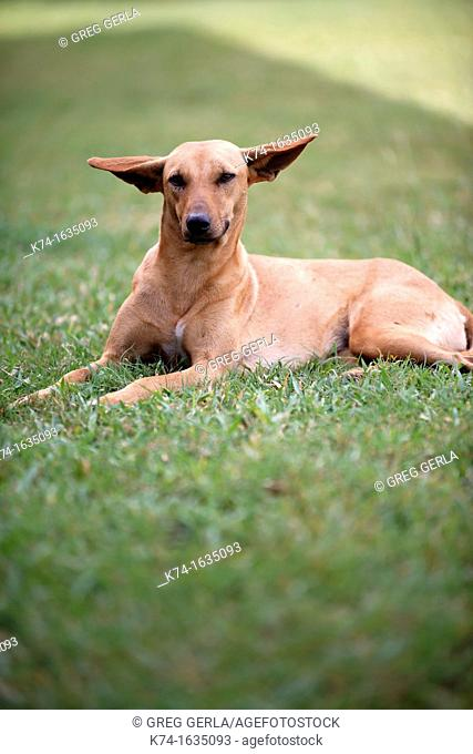 Dog with big ears lying in the grass