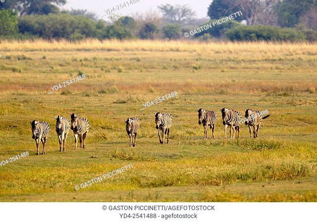 Plains zebras, (Equus quagga), Chobe National Park, Botswana