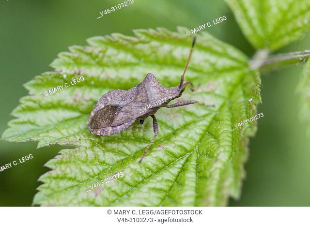 Dock Bug, Coreus marginatus feeds on docks and sorrels. Eurasian insect with five nymphal instars. Herbivorous and may feed on raspberry