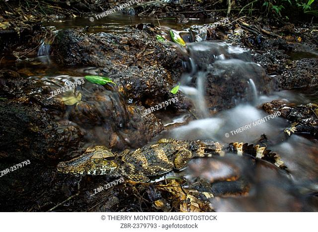 Paleosuchus palpebrosus (Dwarf Caiman, red caiman, dog caiman) in the running water of a waterfall. French Guiana