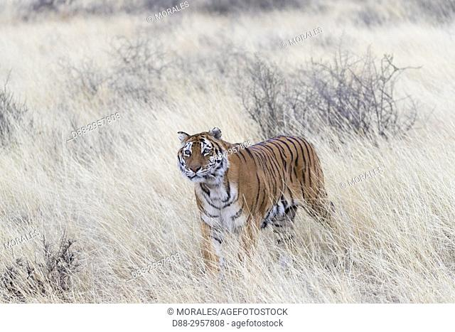 South Africa, Private reserve, Asian (Bengal) Tiger (Panthera tigris tigris), female adult walking