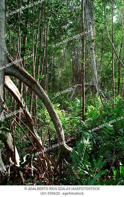 Mangrove in Celestun Yucatan Mexico