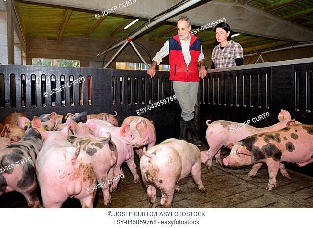 couple of farmers on a pig farm