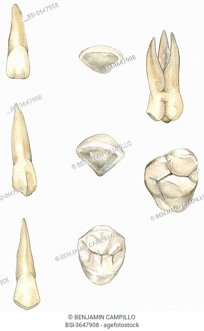 Front view and view from above the incisors, canines, premolars and molars