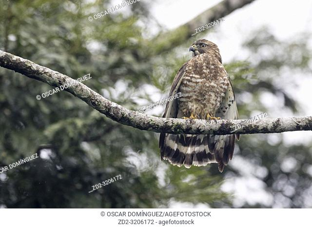 Broad-winged Hawk (Buteo platypterus platypterus) perched on branch drying wings. Heredia province. Costa Rica