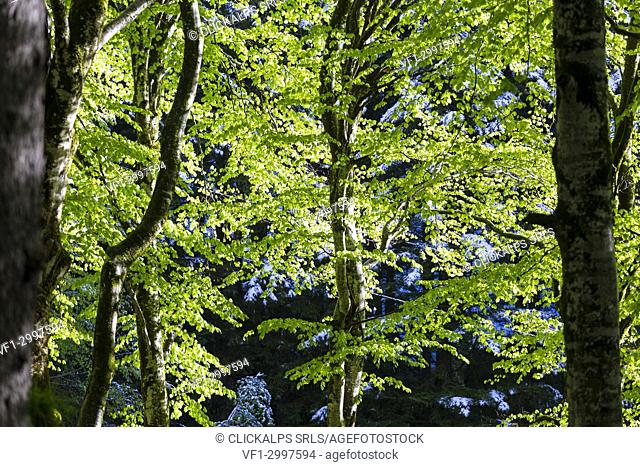 Contrast between trees lit by the sun and trees in the shade. Bagni di Masino, Valmasino, Lombardy, Italy