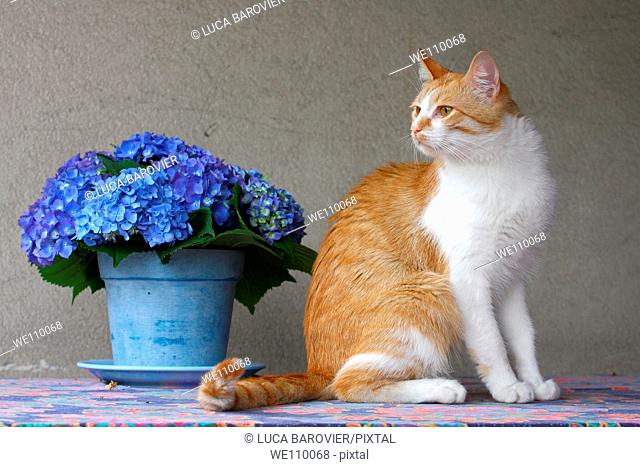 White and orange cat on a table with hydrangeas