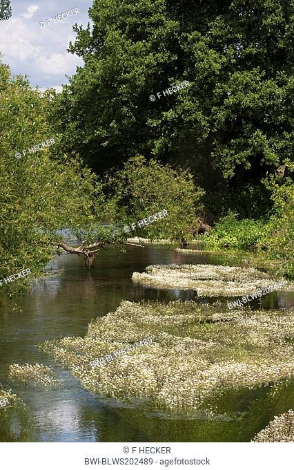 river water-crowfoot Ranunculus fluitans, creek with flowering water-crowfoot, Germany