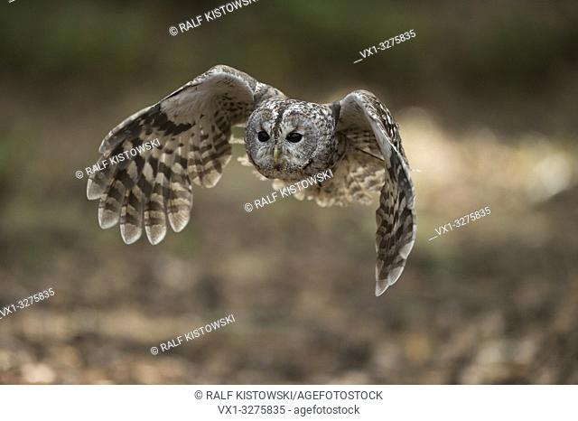 Tawny Owl ( Strix aluco ) in flight, flying, hunting, beating its wings, frontal shot, attentive bright wide open eyes