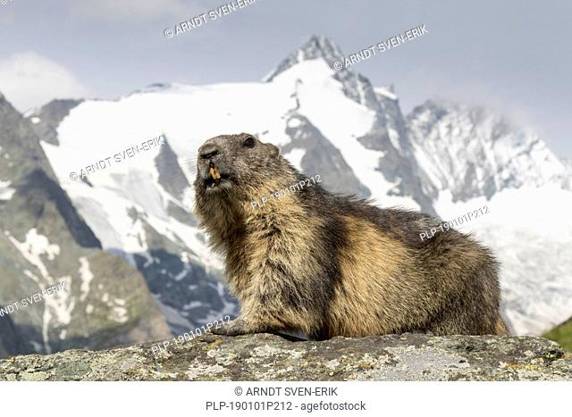Alpine marmot (Marmota marmota) in front of the snow covered mountain Grossglockner, Hohe Tauern National Park, Carinthia, Austria