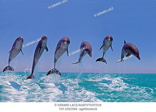 Bottlenose Dolphin, tursiops truncatus, Group Leaping, Honduras