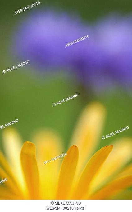 Calendula, close-up