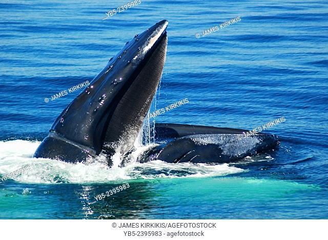 Feeding Humback Whale