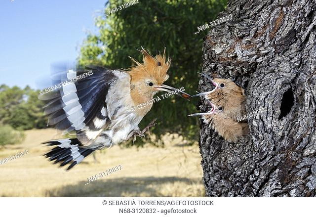 Hoopoe (Upupa epops) feeding their youngs in the nest, Montuiri, Majorca, Balearic Islands, Spain