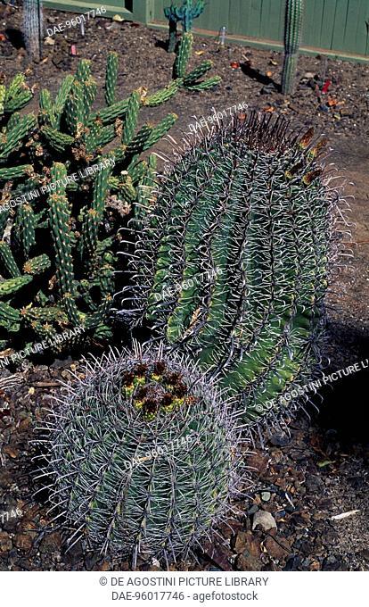 Ferocactus wislizenii var Herrerae, Cactaceae