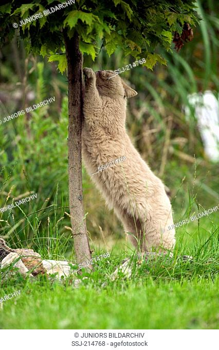 British Shorthair. Adult sharpening claws at a small tree. Germany