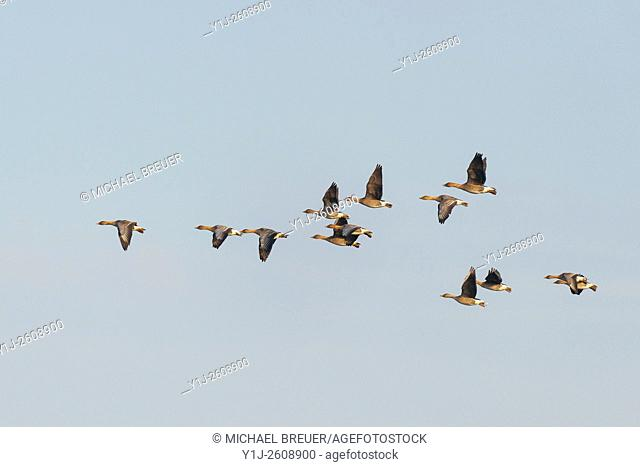 Bean Geese (Anser fabalis), Hesse, Germany, Europe
