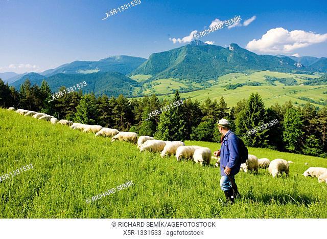 sheep herd with herdsman, Mala Fatra, Slovakia