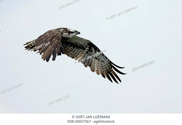 Osprey (Pandion haliaetus) fly-by, The Netherlands, Overijssel, IJsseldelta
