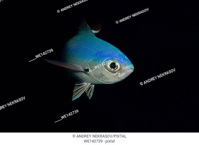 Lunar Fusilier, Blue fusilier, Moon fusilie, Moon caesio or Bluefish (Caesio lunaris) Red sea, Egypt, Africa