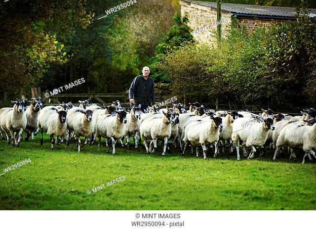 Sheep farmer on a meadow with a large flock of sheep