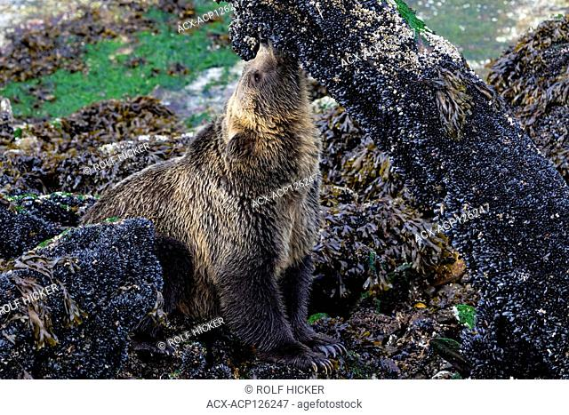 Young coastal grizzly bear (Ursus arctos) feasting on blue mussles during low tide along the Knight Inlet shoreline, First Nations Territory, British Columbia