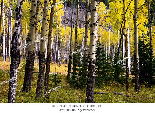 Aspen woodlot in the Muleshoe pullout along the Bow Valley Parkway. Banff National Park Alberta