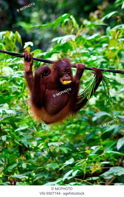 An orangutan (Pongo pygmaeus) at the Sepilok Orangutan Rehabilitation Center in the Kabili Sepilok Forest near Sandakan - MALASIA, BORNEO - USA, 03/04/2014