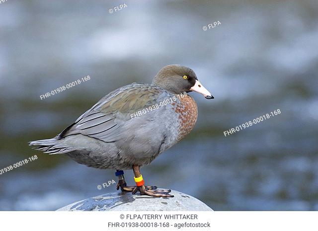 Blue Duck Hymenolaimus malacorhynchus adult, standing on rock in river, Manganui-o-te-ao River, North Island, New Zealand