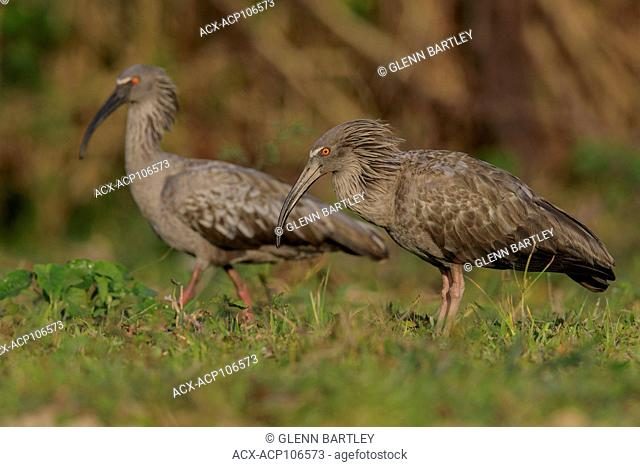 Plumbeous Ibis (Theristicus caerulescens) feeding in a wetland area in the Pantanal region of Brazil