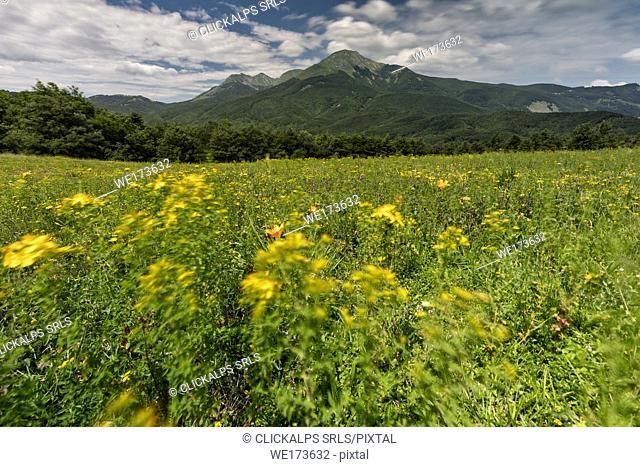 the flowers in the meadows of Cerreto Alpi, municipality of Ventasso, Reggio Emilia Province, Emilia Romagna District, northen Italy, Europe