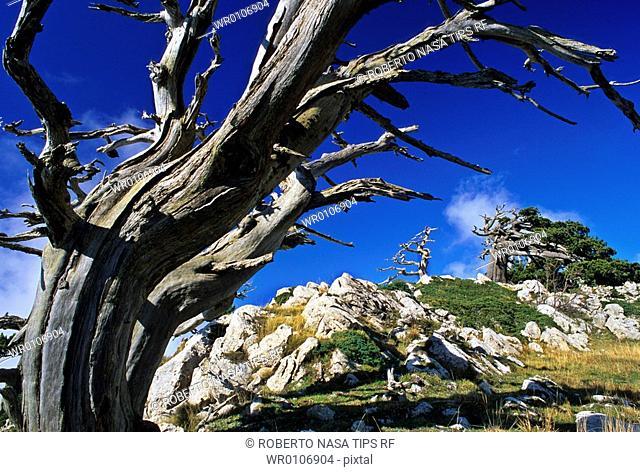 Palebark pine - Pinus leucodermis