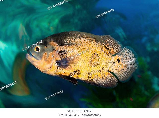 Spotty greater triggerfish floats in an aquarium