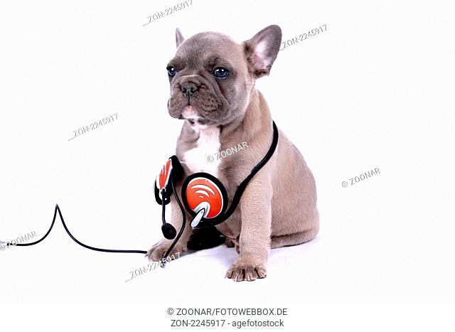 französische Buldogge Welpe mit Headset - french bulldogge puppy