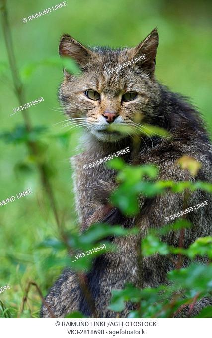 Wildcat, Felis silvestris, Tomcat portrait, Germany