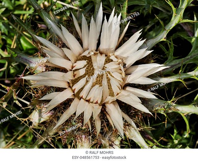 Silver thistle on an alpine meadow