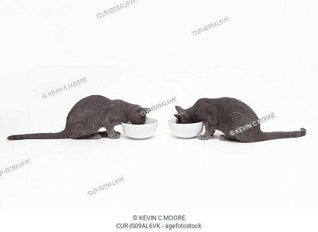 Studio shot of two russian blue kittens opposite each other eating from bowls