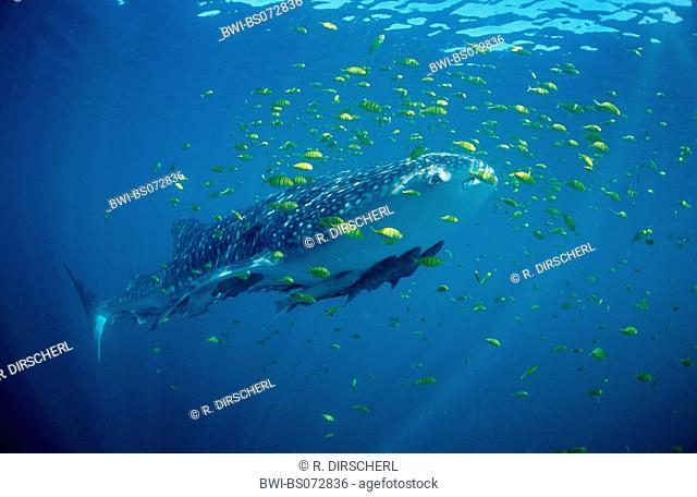 whale shark (Rhincodon typus), side view, USA, Haiwaii, Pazifik