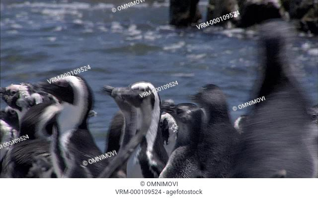 CU African Penguins Spheniscus demersus / Dyer Island, South Africa