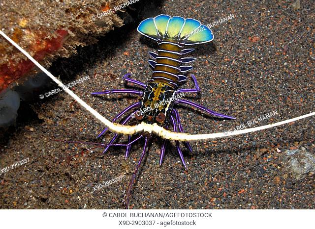 Painted Crayfish, Panulirus versicolor. Juvenile. Also known as Spiny Lobster, Painted Rock Lobster, Common Rock Lobster, Bamboo Lobster, Blue Lobster