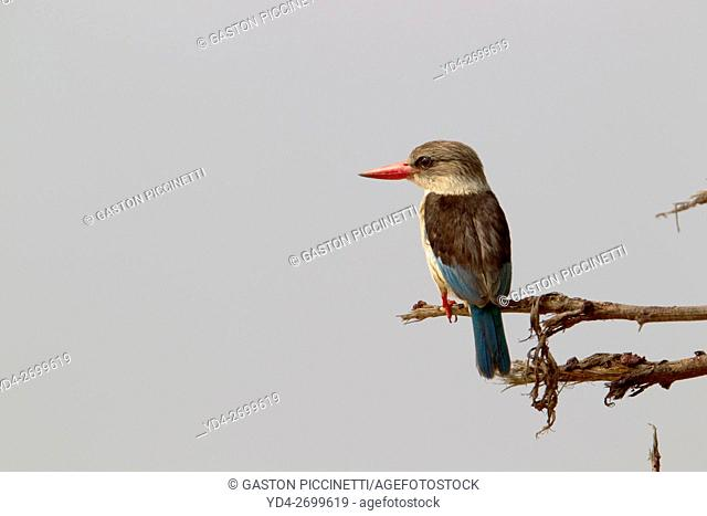 Brownhooded Kingfisher (Halcyon senegalensis), Kruger National Park, South Africa