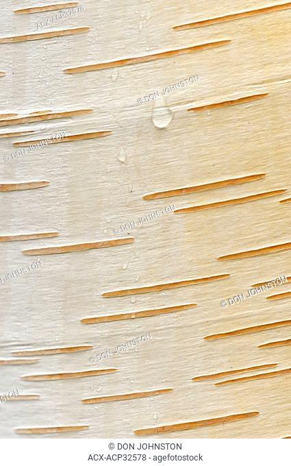 White birch Betula papyrifera Detail of bark