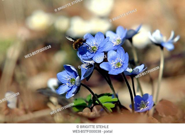 Liverworts flower, close up